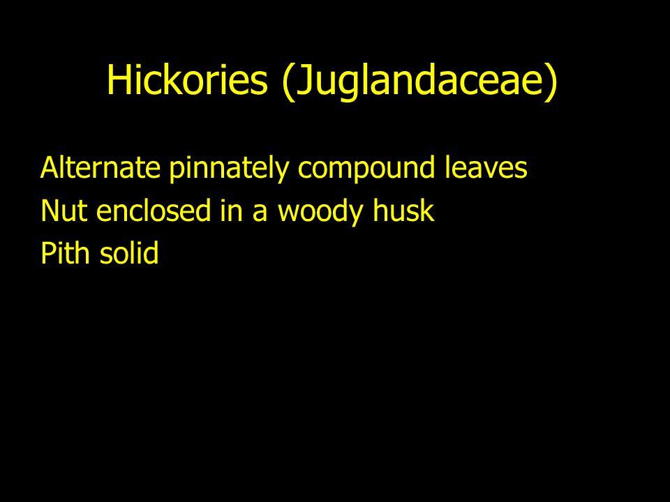 Hickories (Juglandaceae)