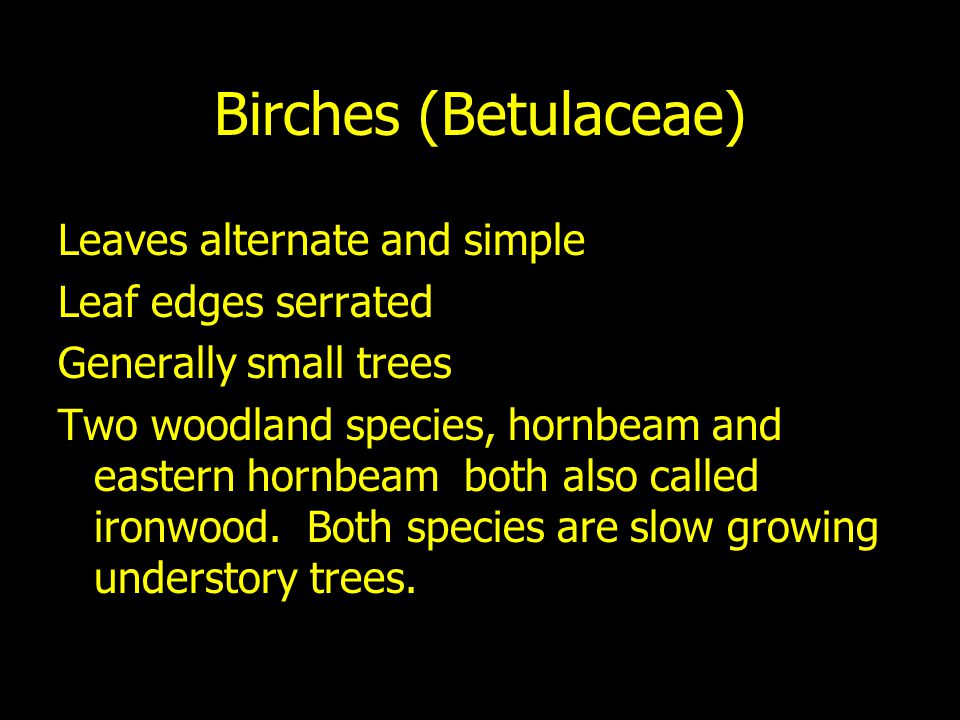 Birches (Betulaceae) Leaves alternate and simple Leaf edges serrated