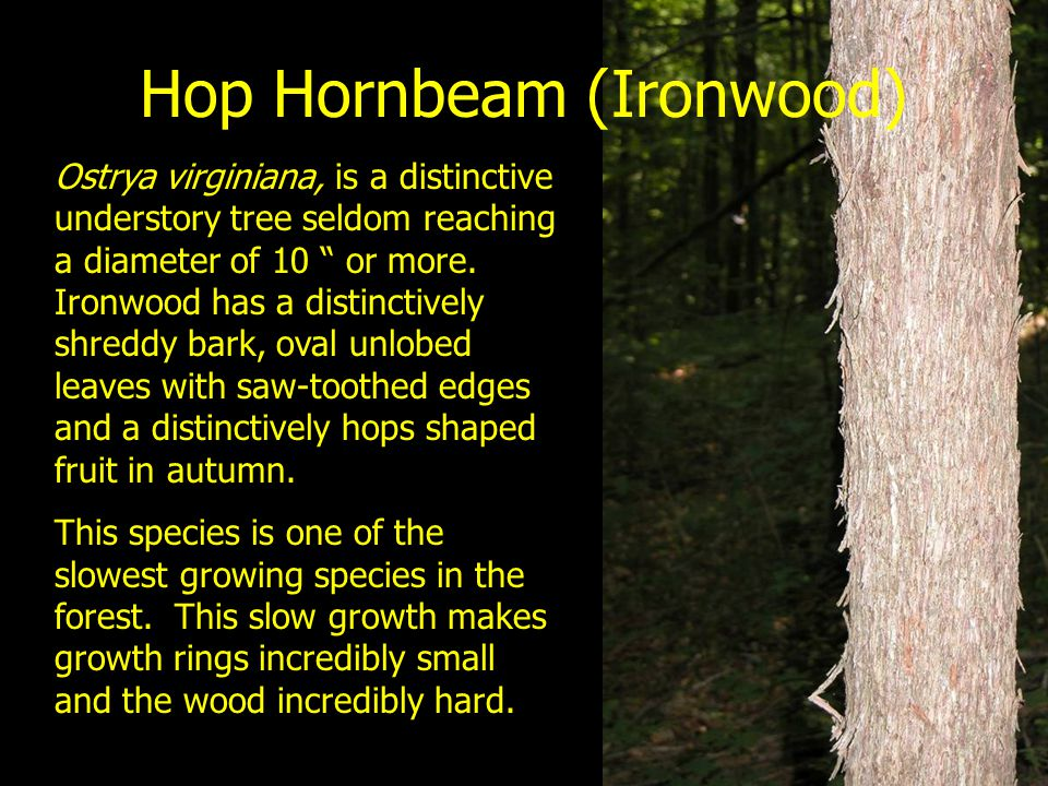 Hop Hornbeam (Ironwood)