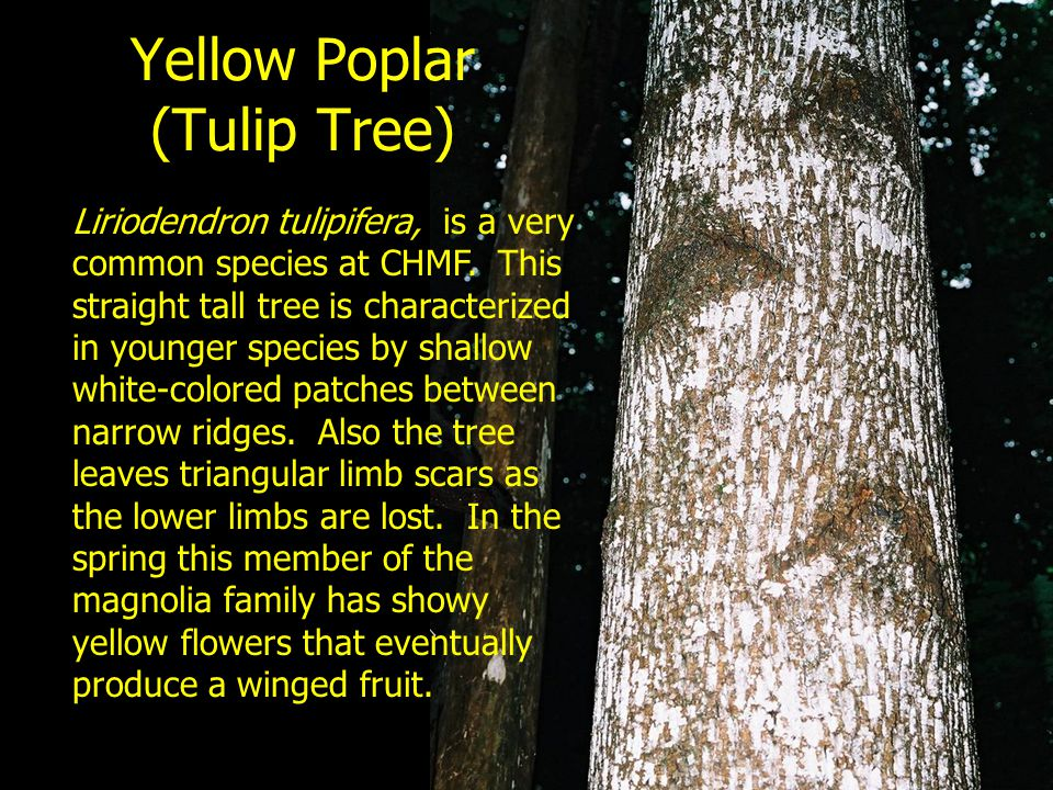 Yellow Poplar (Tulip Tree)