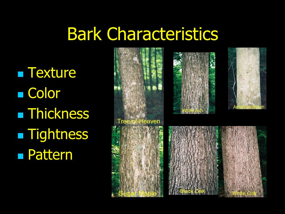 Bark Characteristics Texture Color Thickness Tightness Pattern