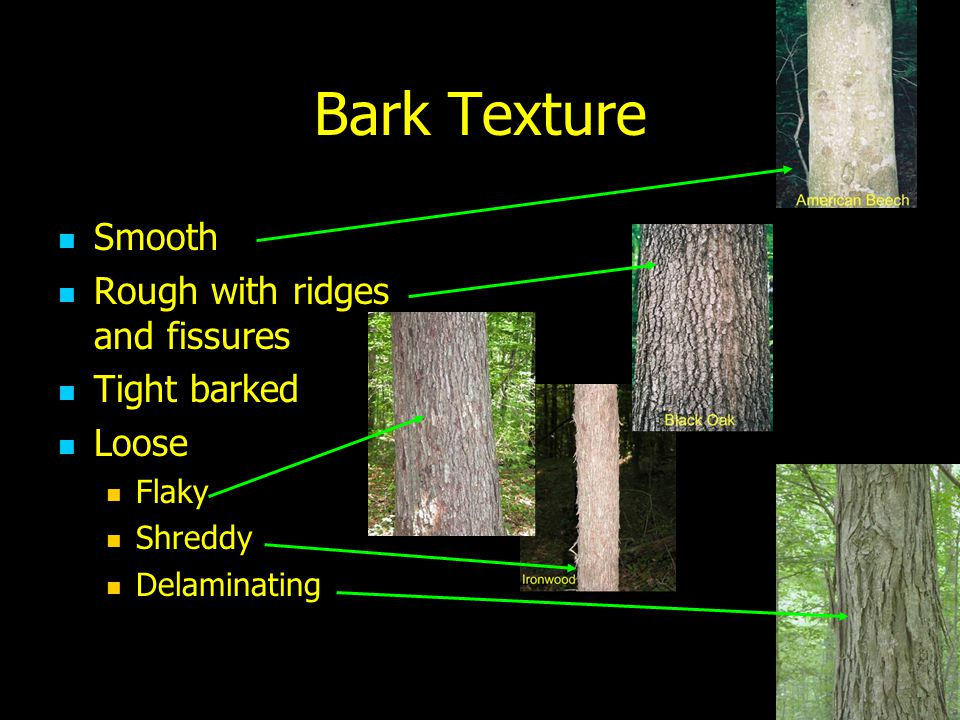 Bark Texture Smooth Rough with ridges and fissures Tight barked Loose