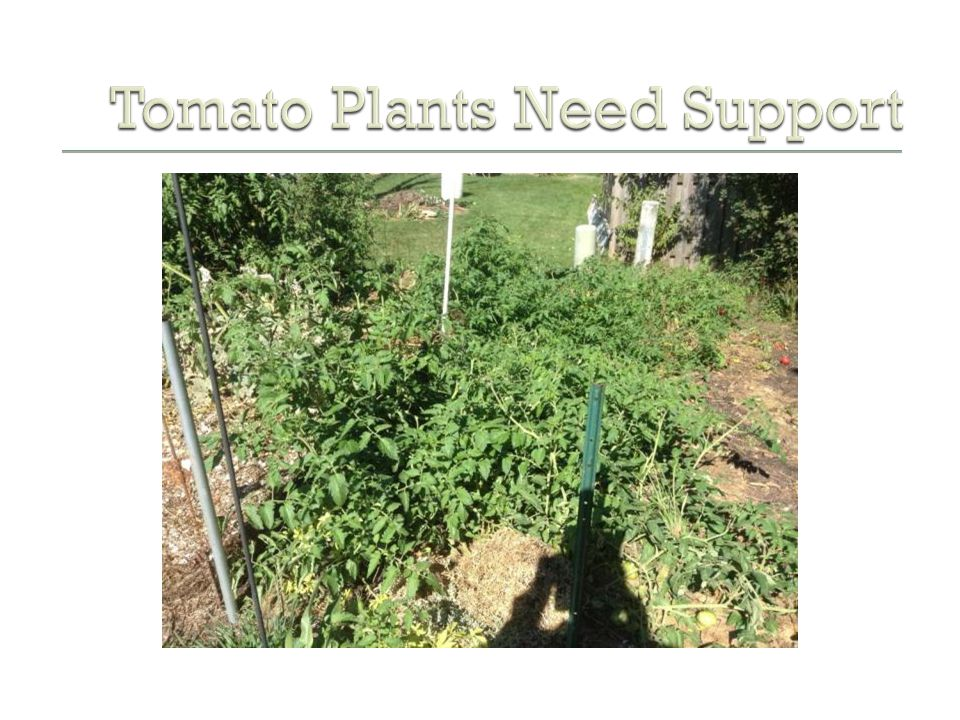 Tomato Plants Need Support
