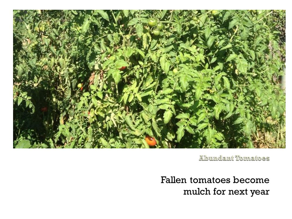 Fallen tomatoes become mulch for next year