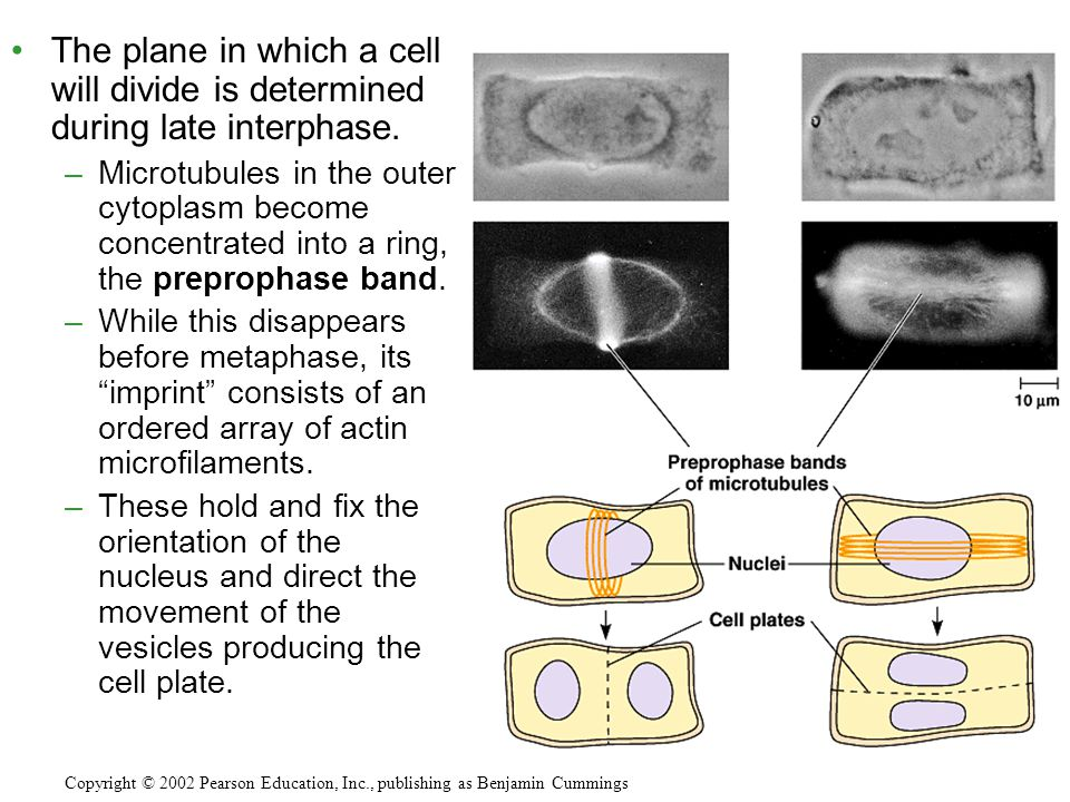 The plane in which a cell will divide is determined during late interphase.