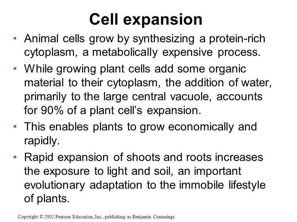Cell expansion Animal cells grow by synthesizing a protein-rich cytoplasm, a metabolically expensive process.