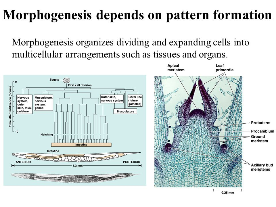Morphogenesis depends on pattern formation