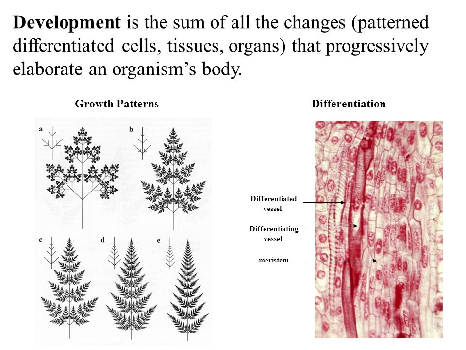 Development is the sum of all the changes (patterned differentiated cells, tissues, organs) that progressively elaborate an organism's body.
