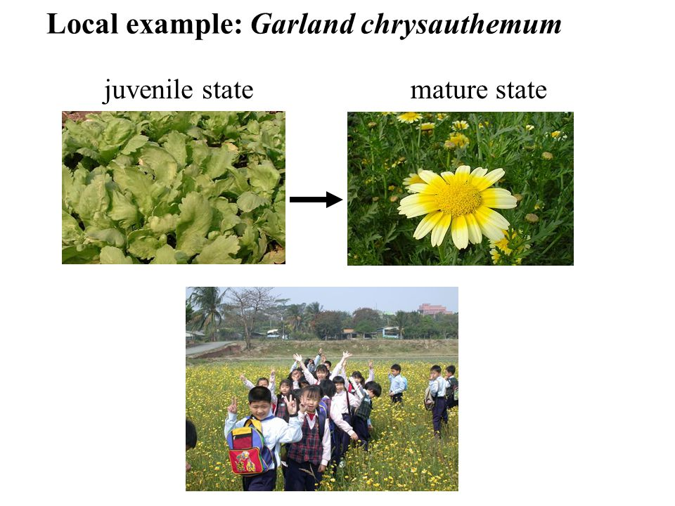 Local example: Garland chrysauthemum