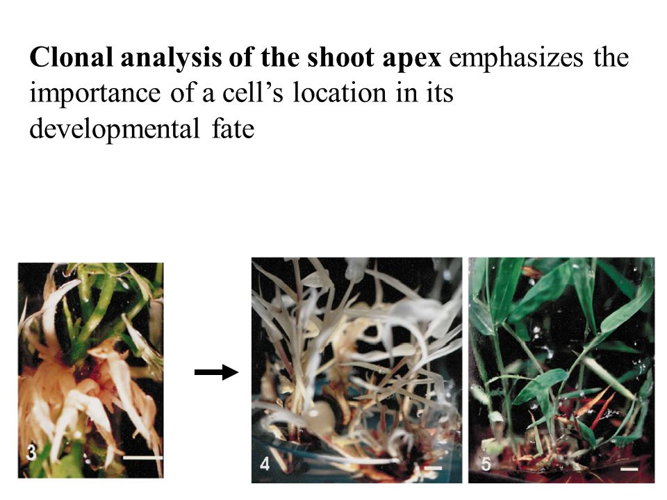 Clonal analysis of the shoot apex emphasizes the importance of a cell's location in its developmental fate