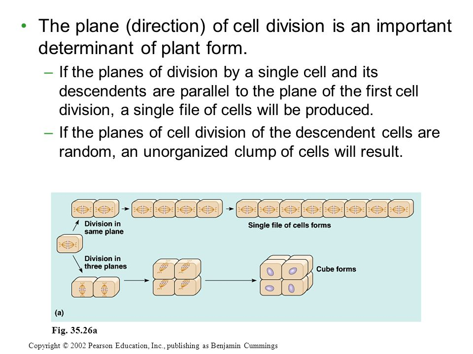 The plane (direction) of cell division is an important determinant of plant form.
