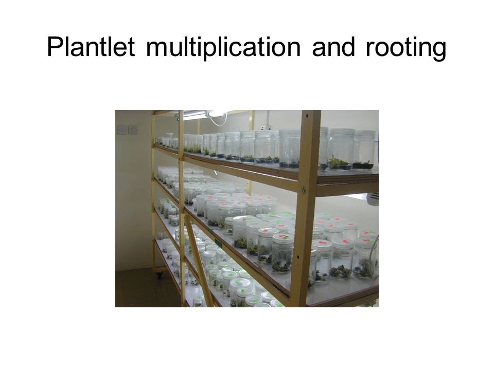Plantlet multiplication and rooting