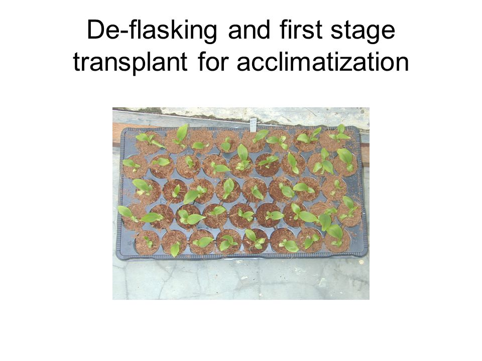 De-flasking and first stage transplant for acclimatization