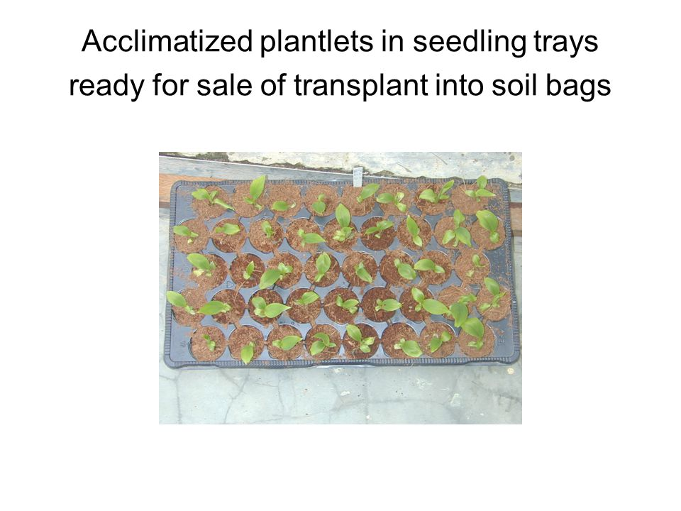 Acclimatized plantlets in seedling trays ready for sale of transplant into soil bags