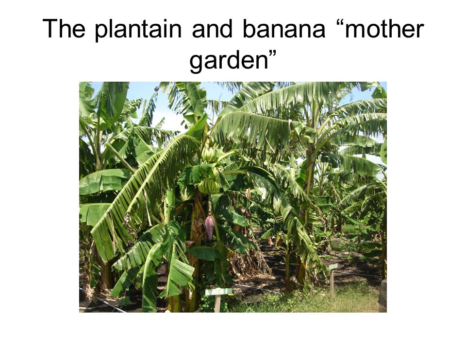 The plantain and banana mother garden