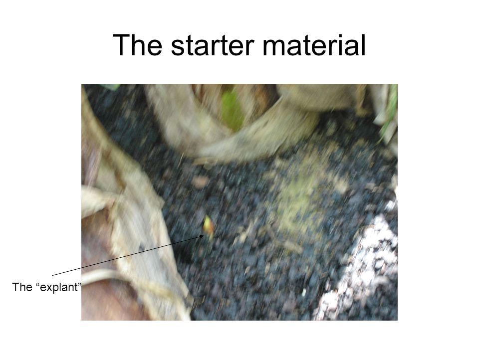 The starter material The explant