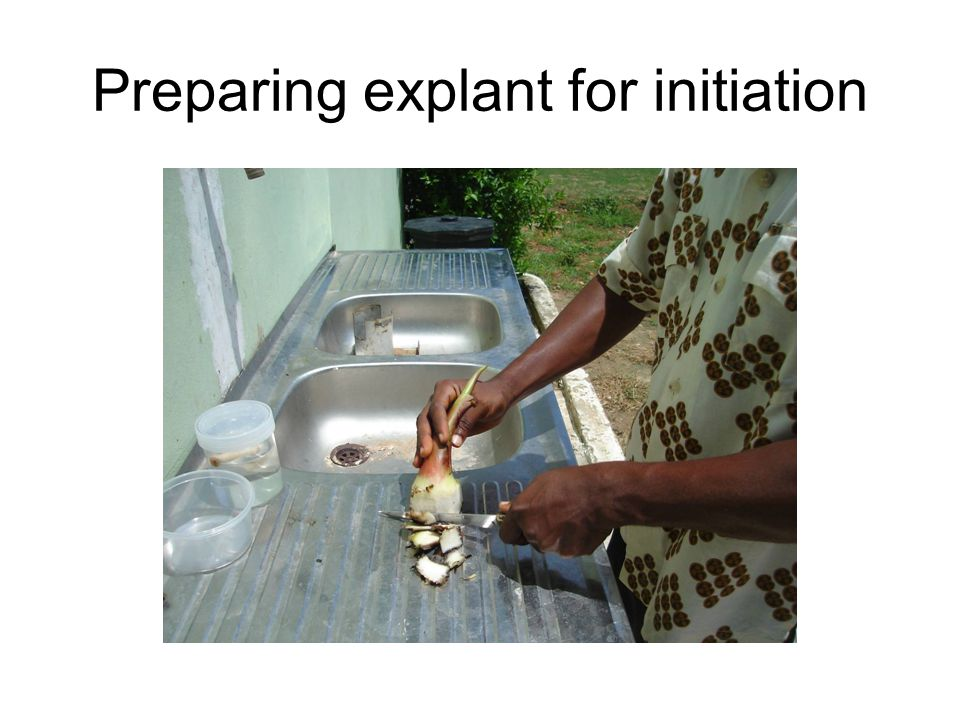 Preparing explant for initiation