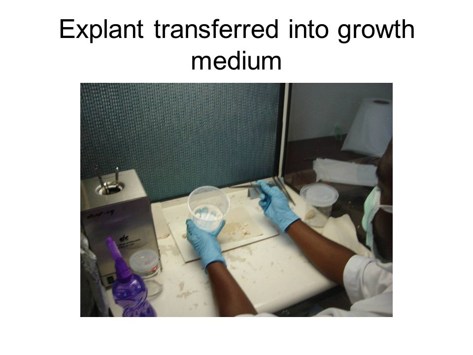 Explant transferred into growth medium