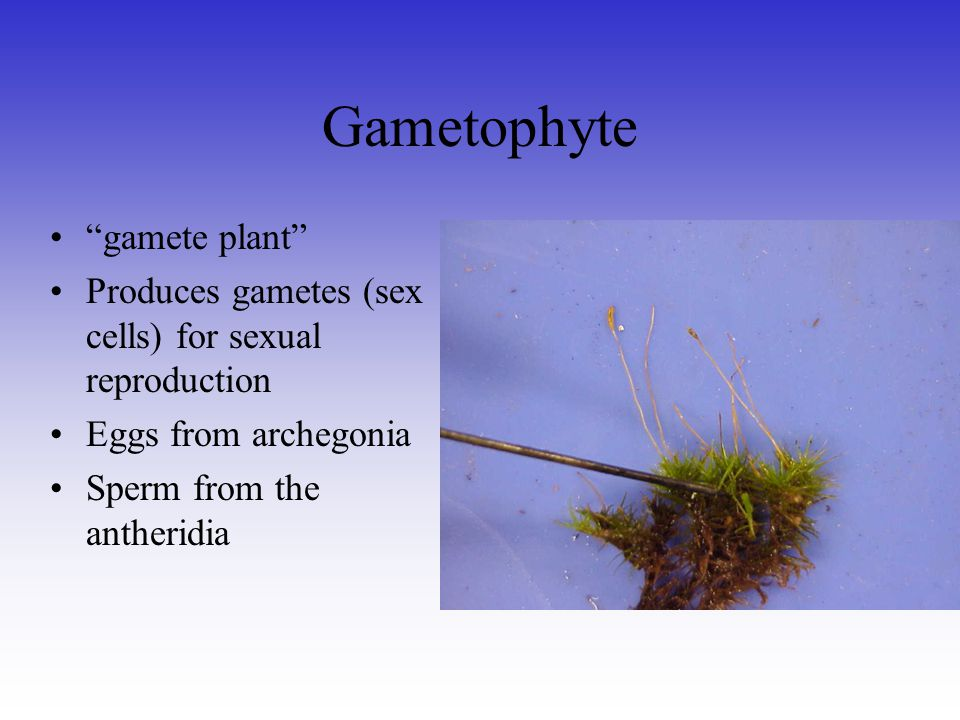 Gametophyte gamete plant