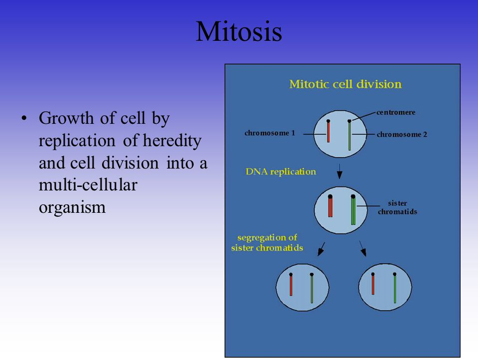 Mitosis Growth of cell by replication of heredity and cell division into a multi-cellular organism