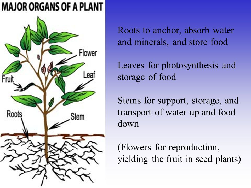 Roots to anchor, absorb water and minerals, and store food Leaves for photosynthesis and storage of food Stems for support, storage, and transport of water up and food down (Flowers for reproduction, yielding the fruit in seed plants)
