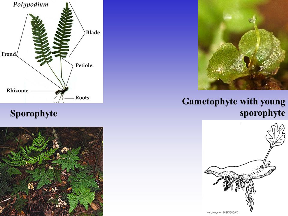 Gametophyte with young sporophyte