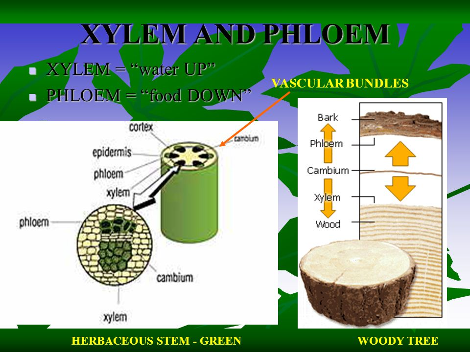 XYLEM AND PHLOEM XYLEM = water UP PHLOEM = food DOWN