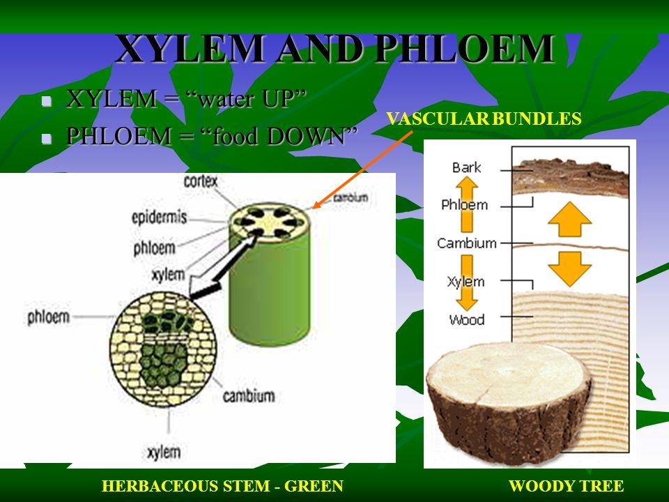 XYLEM AND PHLOEM XYLEM = water UP PHLOEM = food DOWN