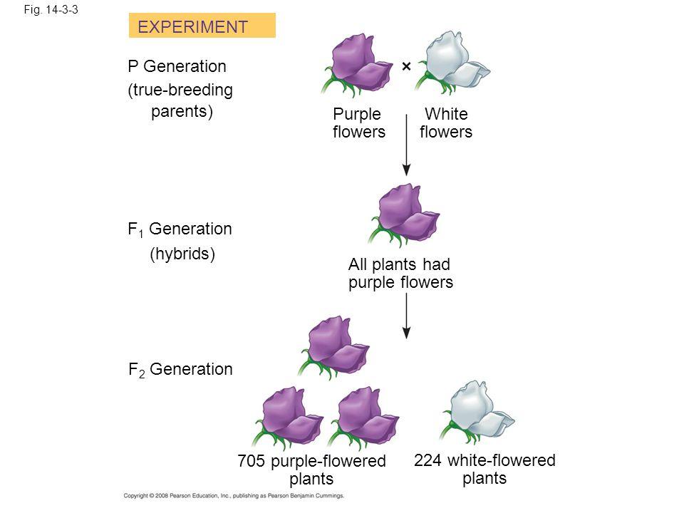 EXPERIMENT P Generation (true-breeding parents) Purple flowers White