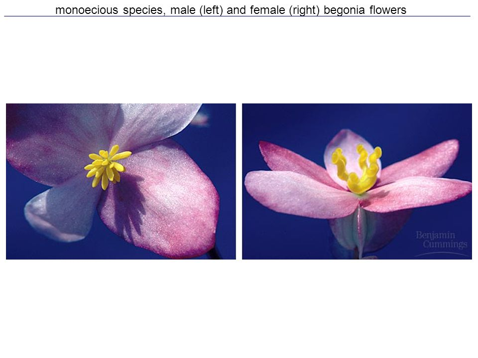 monoecious species, male (left) and female (right) begonia flowers
