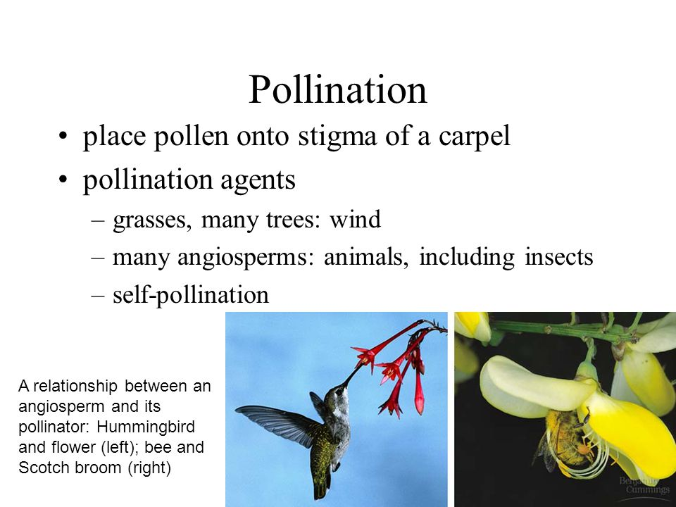 Pollination place pollen onto stigma of a carpel pollination agents