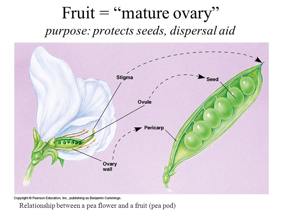 Fruit = mature ovary purpose: protects seeds, dispersal aid