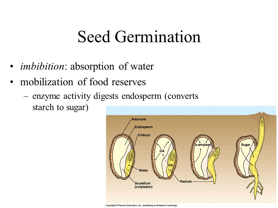Seed Germination imbibition: absorption of water