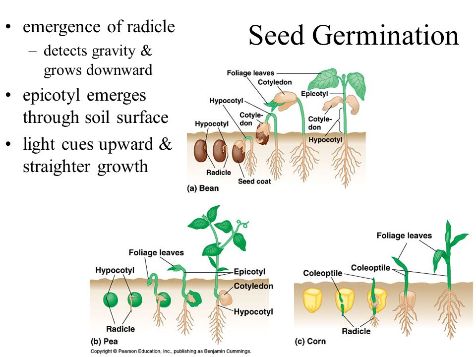 Seed Germination emergence of radicle