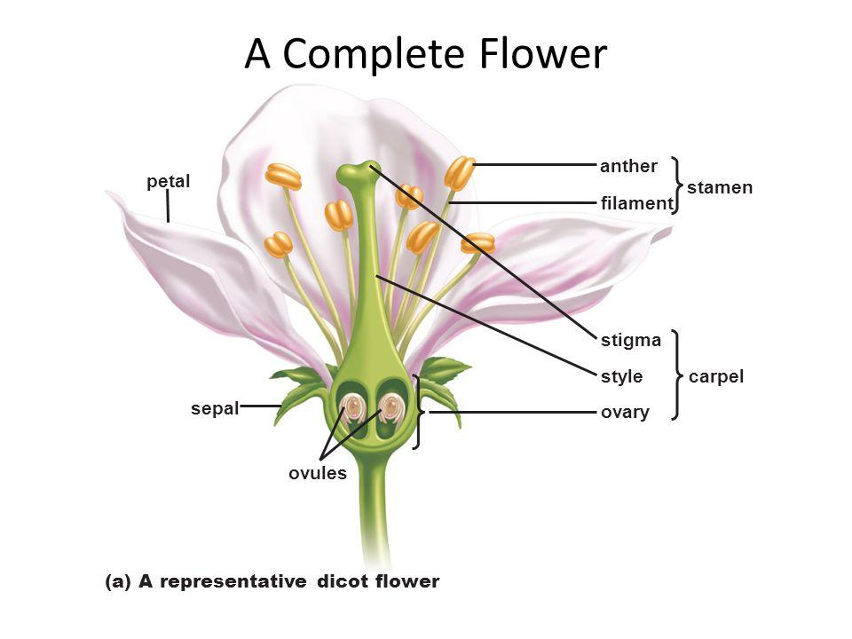 A Complete Flower anther petal stamen filament stigma style carpel