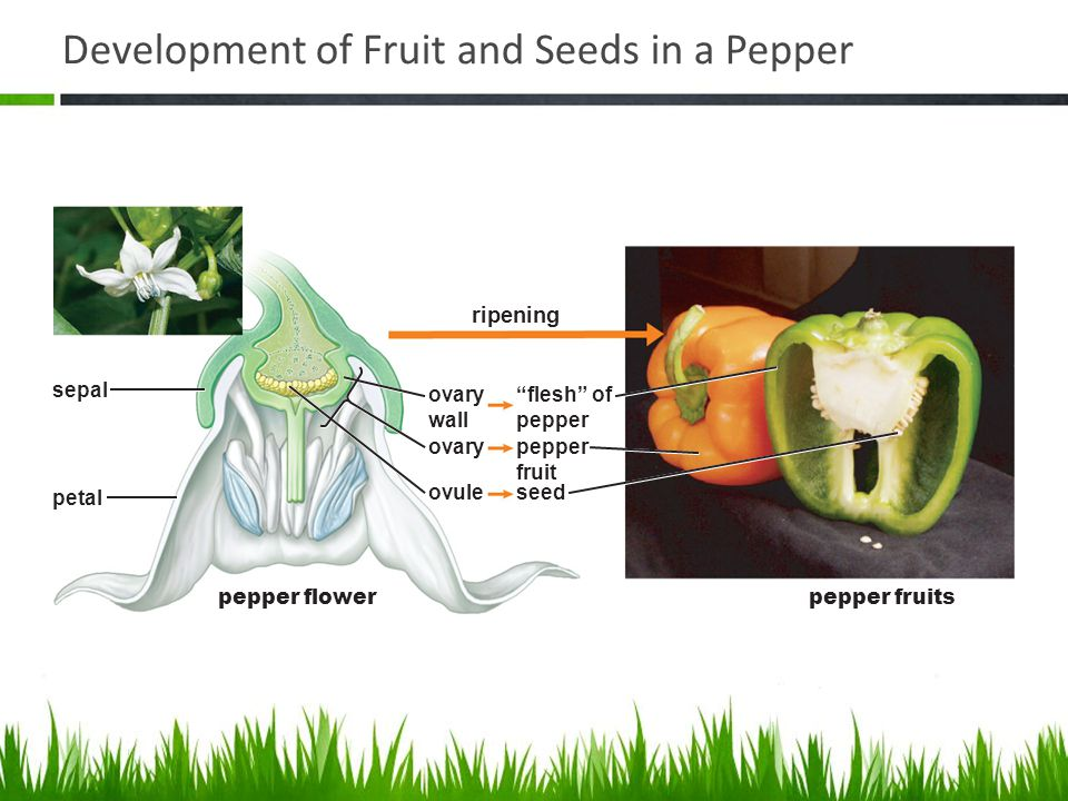 Development of Fruit and Seeds in a Pepper