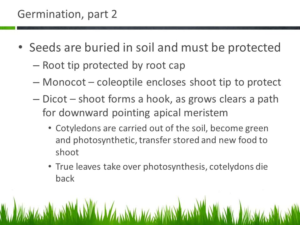 Seeds are buried in soil and must be protected