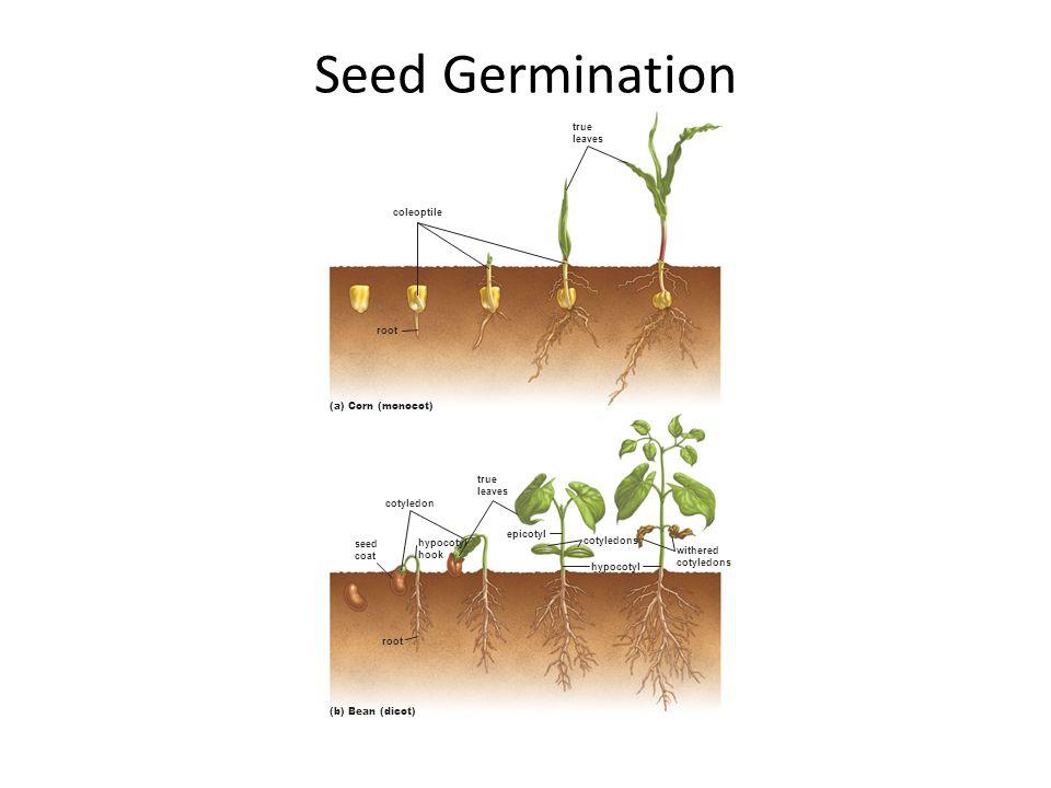 Seed Germination true leaves coleoptile root (a) Corn (monocot) true