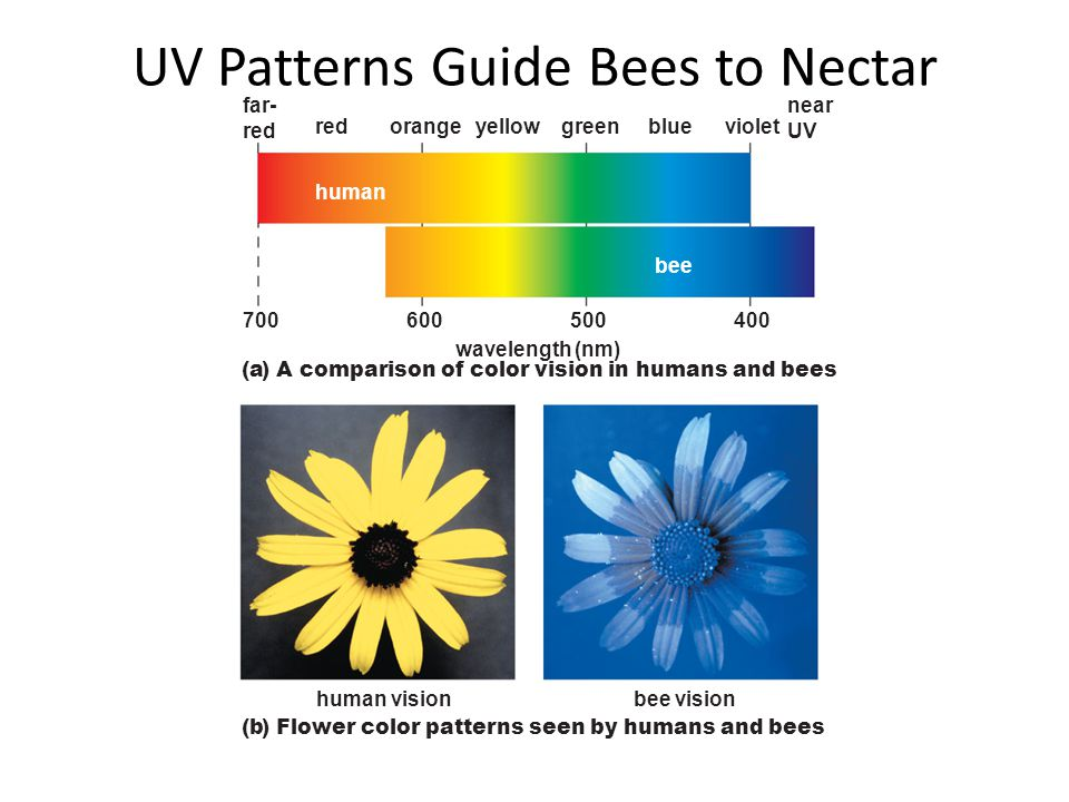 UV Patterns Guide Bees to Nectar