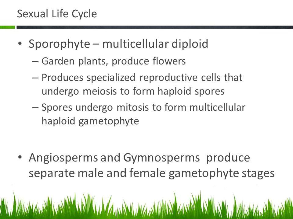 Sporophyte – multicellular diploid