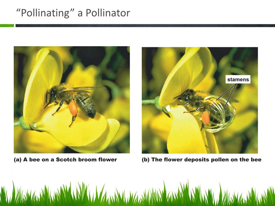 Pollinating a Pollinator