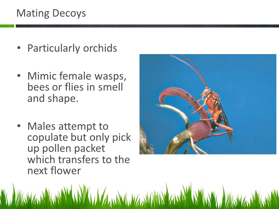 Mating Decoys Particularly orchids. Mimic female wasps, bees or flies in smell and shape.