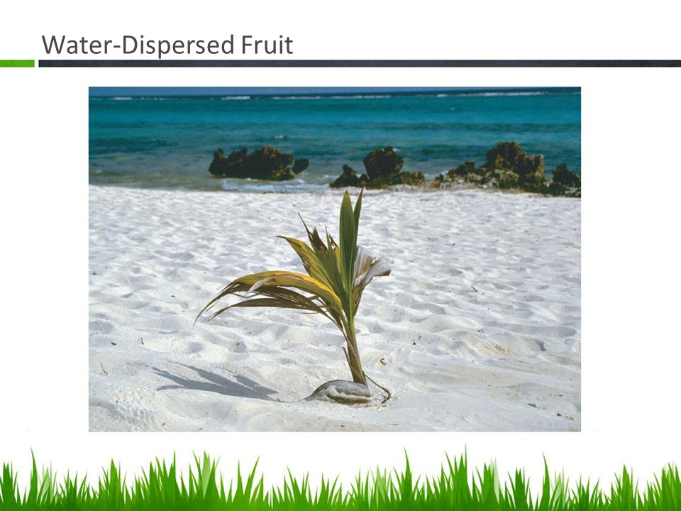 Water-Dispersed Fruit