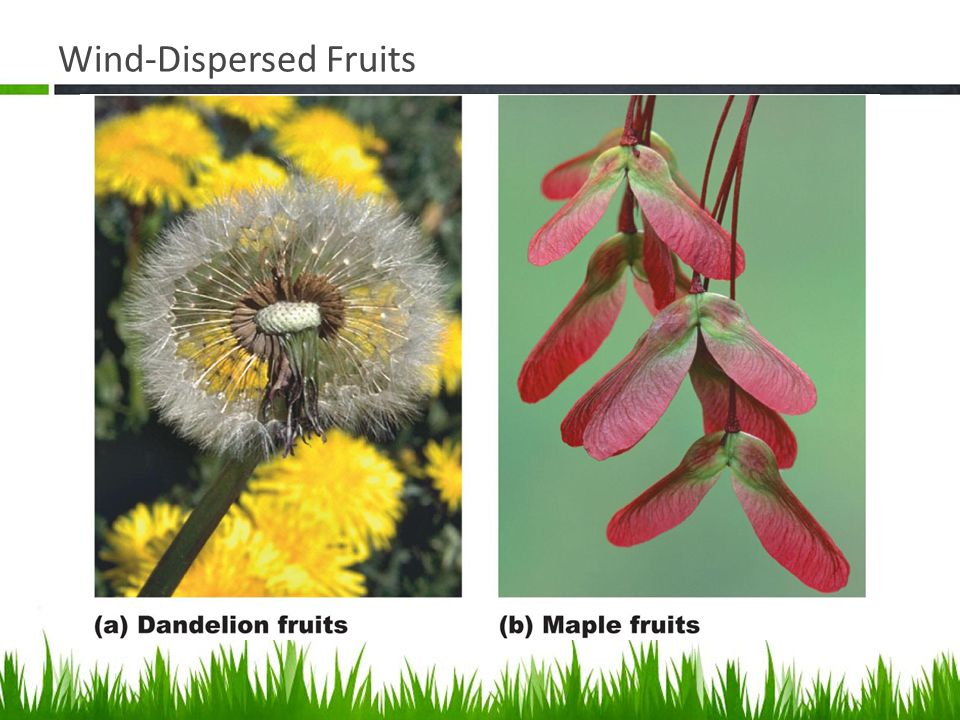 Wind-Dispersed Fruits