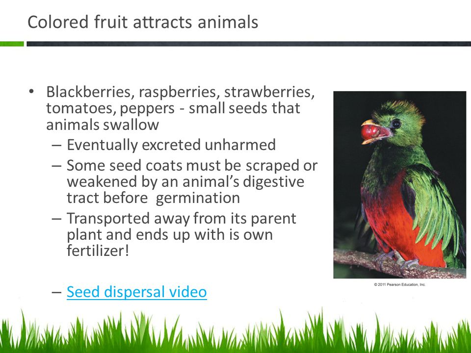 Colored fruit attracts animals