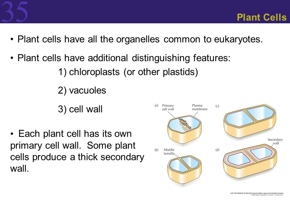 Plant Cells Plant cells have all the organelles common to eukaryotes. Plant cells have additional distinguishing features: