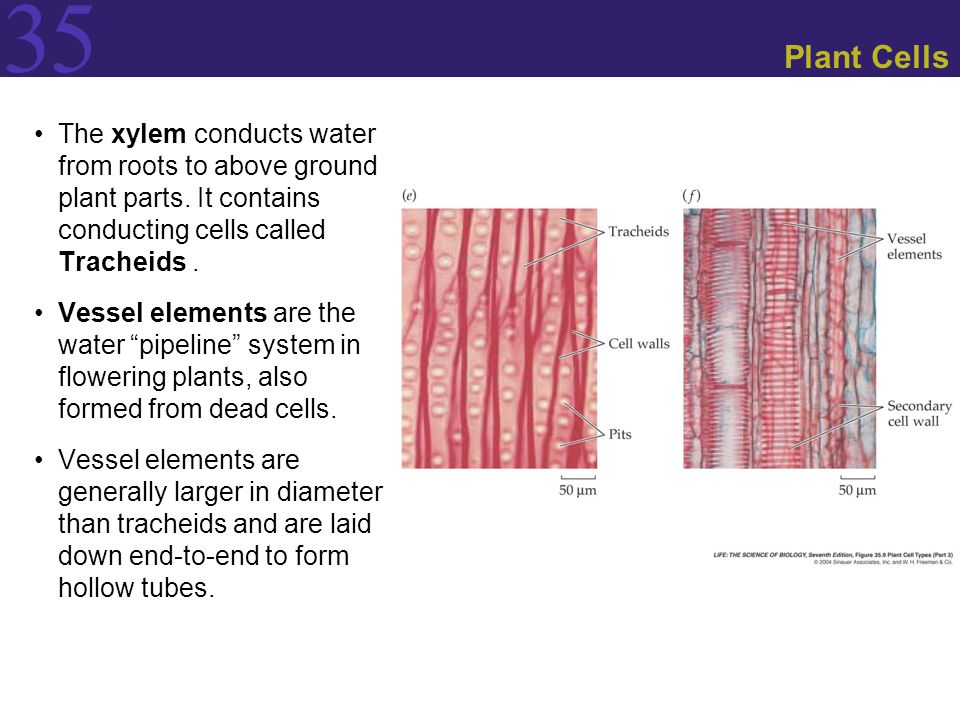 Plant Cells The xylem conducts water from roots to above ground plant parts. It contains conducting cells called Tracheids .