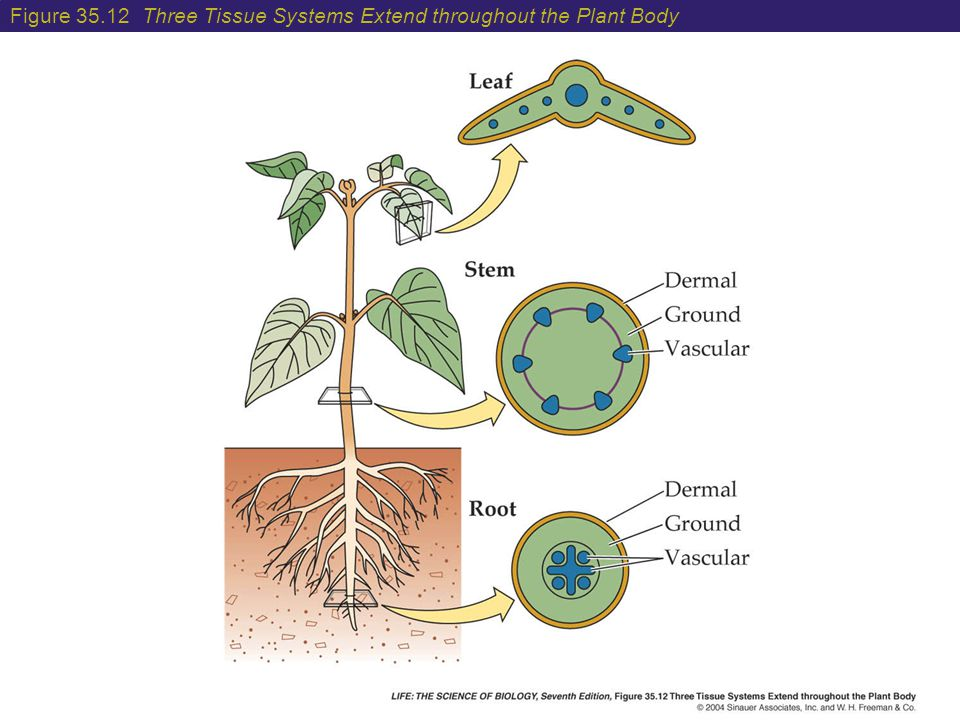 Figure Three Tissue Systems Extend throughout the Plant Body
