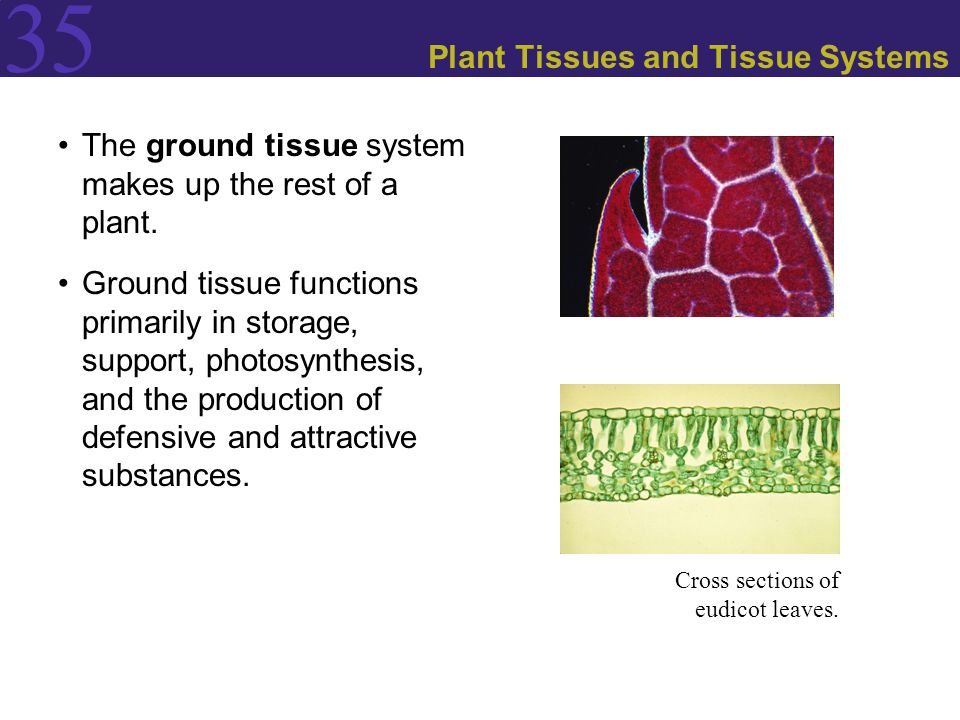 Plant Tissues and Tissue Systems