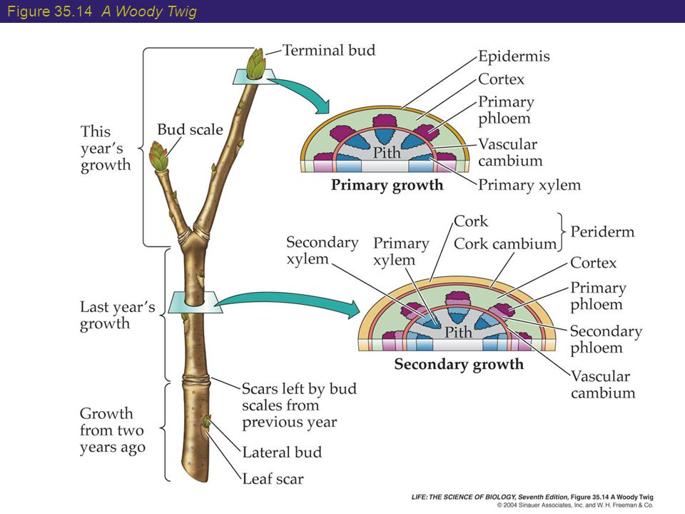 Figure 35.14 A Woody Twig